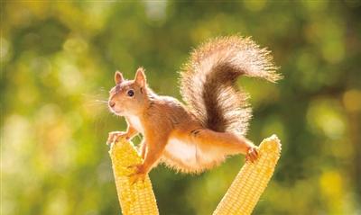 比如这只小松鼠,在两根玉米棒子上大玩平衡术.